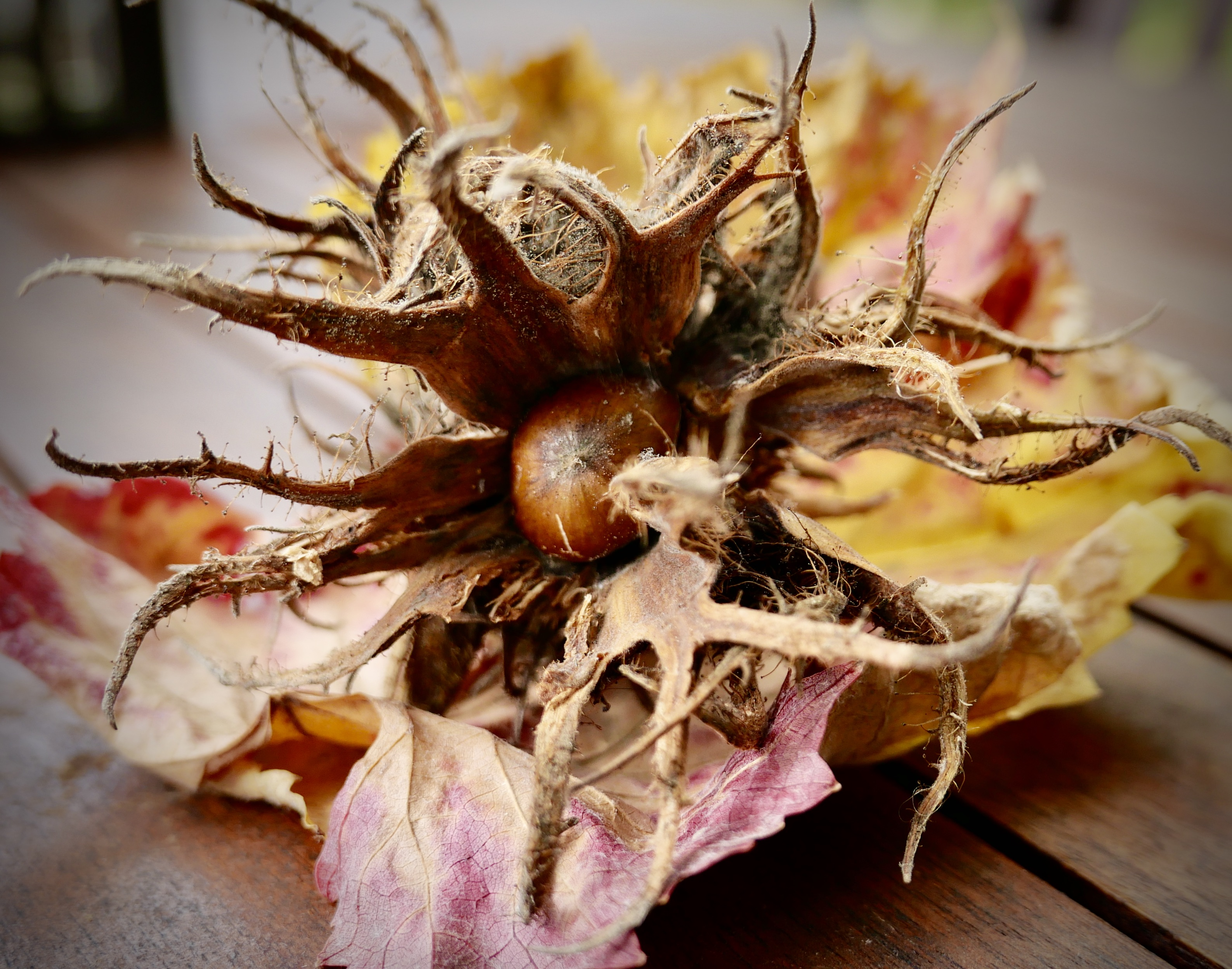 Haselnussblüte auf Weinlaub