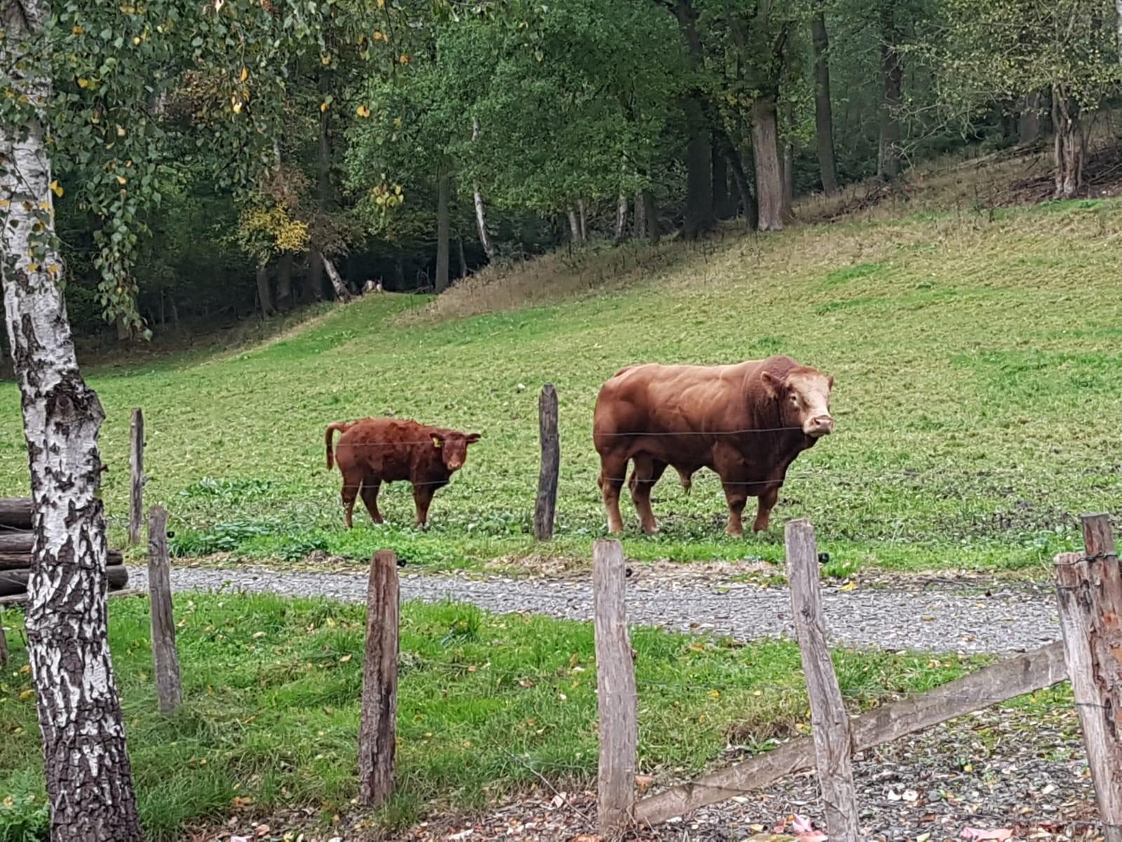 Stier grüßt über den Zaun